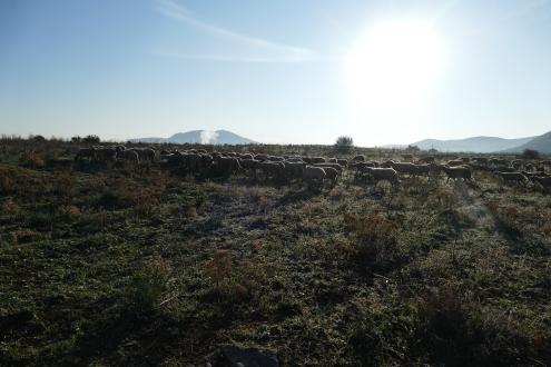 Some sheep at Haliartos