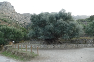Giant, Old Olive Tree