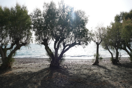Olive Trees on the Beach at Ierapetra
