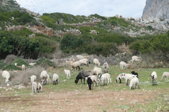 Flock of Sheep at Phalarsana