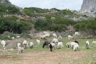 Flock of Sheep at Phalarsana